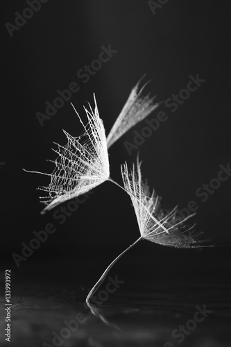 Dandelion seed with waterdrops on dark background © ileana_bt