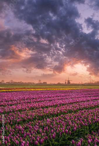 Boudless Fields of Tulip Canvas
