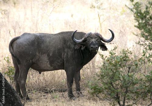 Poster Buffalo africa Tanzania