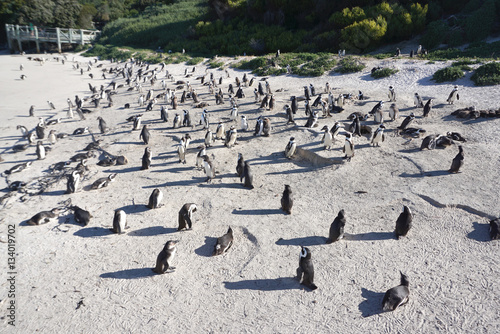 Poster African Penguins colony at Boulders Beach, Table Mountain Nation