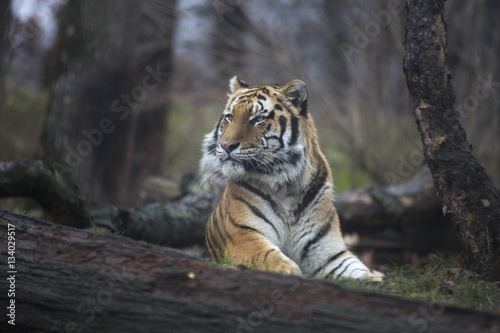 Poster Portrait of siberian or Amur tiger