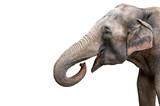 Elephant portrait. Elephant with open mouth. Elephant on a white background.