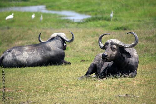 Poster Cape Buffalo