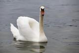 Mute swan posing