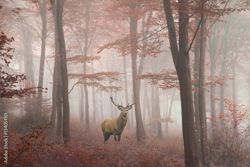 In de dag Bleke violet Beautiful image of red deer stag in foggy Autumn colorful forest
