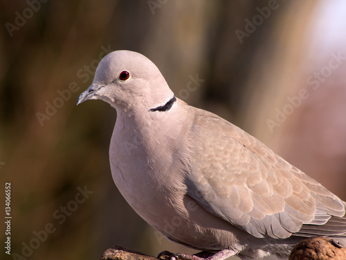 Poster Collared Dove (Streptopelia decaocto) and bird feeding.