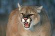Majestic Cougar