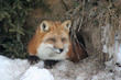 Gorgeous Red Fox in her Winter Coat