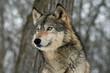 Lone Gray Wolf
