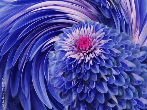 Fotobehang Donkerblauw blue flowers chrysanthemum. blue-pink background. floral collage. flower composition. For design.