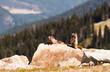 Canada - Hoary Marmot - Mountain Whistler