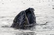 Canada - Humpback Whale Lunge Feeding