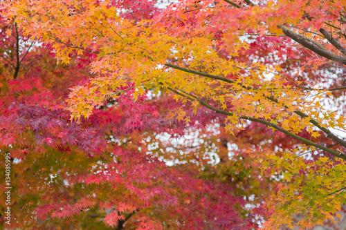 Keuken foto achterwand Bossen Red and yellow maple leaves during Autumn season in Kyoto Japan