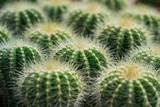 cactuses close up