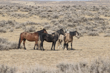 Wild mustangs at McCullough Peaks Wild Horse Herd Management Area