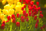 beautiful background image of tulips for Womens Day