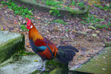 Colorful Rooster in Kuala Lumpur, Malaysia