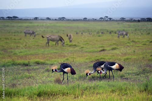 Poster Two Grey Crowned Crane and zebras in Amboseli national park