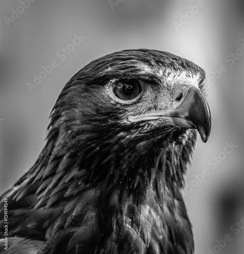 Spoed canvasdoek 2cm dik Abu Dhabi Falcon / Eagle