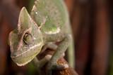 Green chameleon on bamboo background