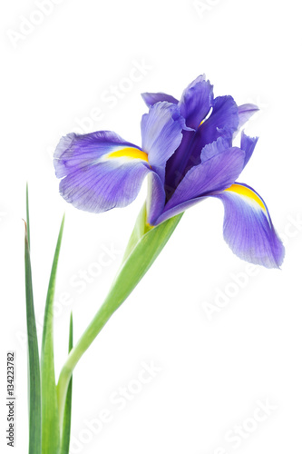 Iris flower isolated on white, beautiful spring plant.