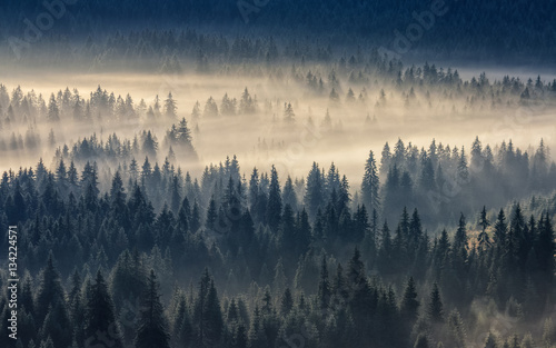 Fototapeta coniferous forest in foggy mountains