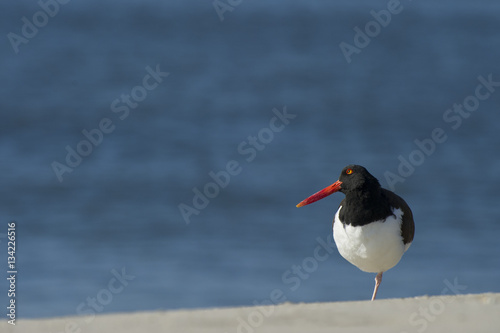 Poster American Oystercatcher Standing on One Leg.