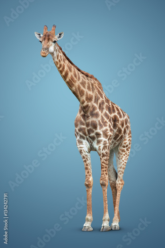 Poster giraffe on blue background