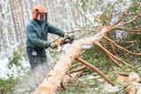 Lumberjack cutting tree in snow winter forest - 134251969