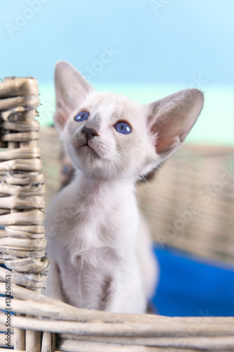 Poster Little Siamese kitten