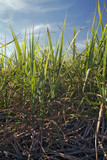 Leaves and sugarcane stem in the plantation