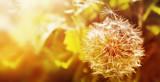 Dandelion close up on natural background. Dandelion flower on summer meadow at sunset