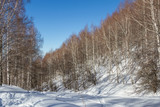 birch grove in the mountains