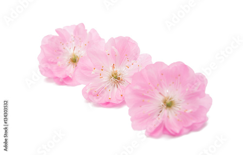 Foto op Plexiglas Magnolia sakura flower isolated