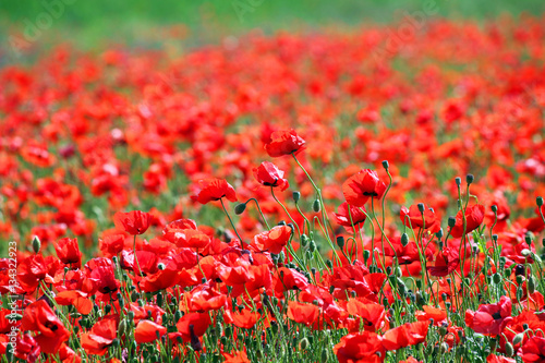 poppies flower meadow spring season nature background
