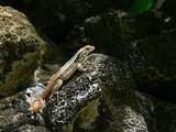 Leiocephalus lunatus