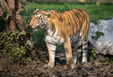 Royal Bengal tiger in a natural confinement at an animal and wildlife sanctuary in India.