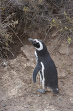 Gli amichevoli pinguini di Magellano, Chubut (Patagonia Argentina)