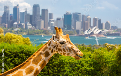 Tuinposter Sydney Taronga Zoo Giraffes