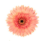gerbera flower isolated on a white background