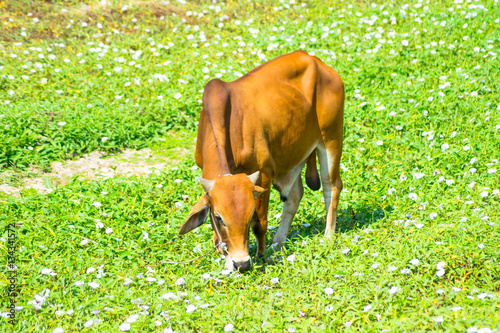 Poster red cow on grass field