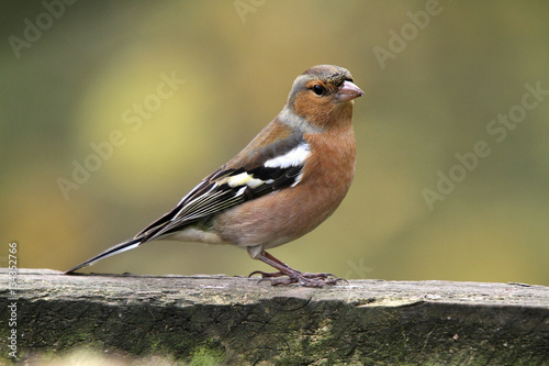 Poster the chaffinch, is a common and widespread small passerine bird in the finch family