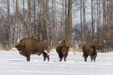 Żubr europejski zimą w Puszczy Knyszyńskiej (Bison bonasus)