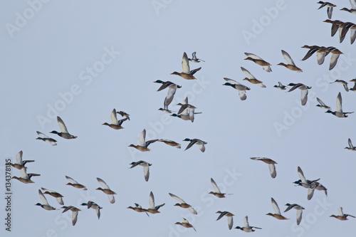 Poster Flock of birds, Mallard Ducks in flight, Anas Platyrhynchos