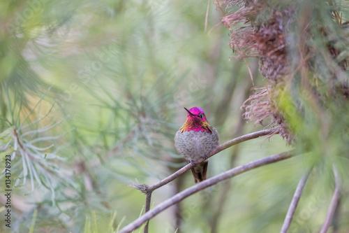 Anna's Hummingbird (Calypte anna), Adult, Male, Santa Cruz, California, USA Poster