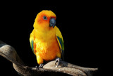 sun conure, beautiful yellow parrot bird