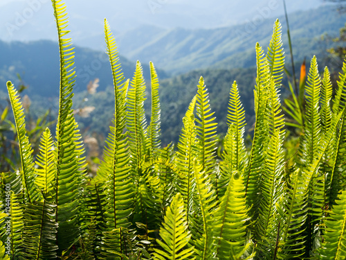 Fotobehang Planten Blurred fern on mountain in morning light with bokeh
