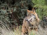 Male of iberian wolf (Canis lupus signatus)