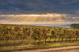 autumn vineyards  against blue sky