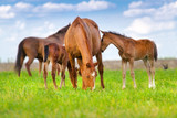 Mare and foal grazing in spring pasture - 134448793
